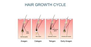 Hair Growth Cycle chart by Robotic Hair Restoration Long Island